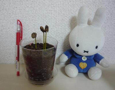 コーヒーの芽、3本目