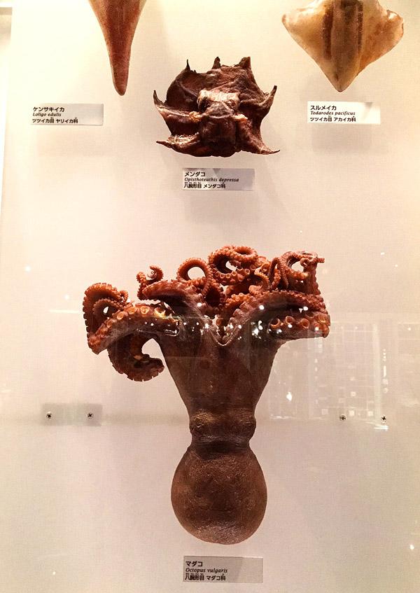 マダコとメンダコの標本
